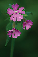 Red Campion<br /> <br /> Copyright www.scottishhorizons.co.uk/Keith Fergus 2011 All Rights Reserved