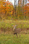 White-tailed deer (Odocoileus virginianus)