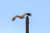 America,Mexico,Baja California,vulture