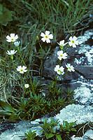 Milchweißer Mannsschild, Milch-Mannsschild, Androsace lactea, milkwhite rock jasmine