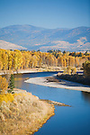 Yellow cottonwood trees along the shore of the Clark Fork River flowing through the west side of the Missoula Valley in Montana