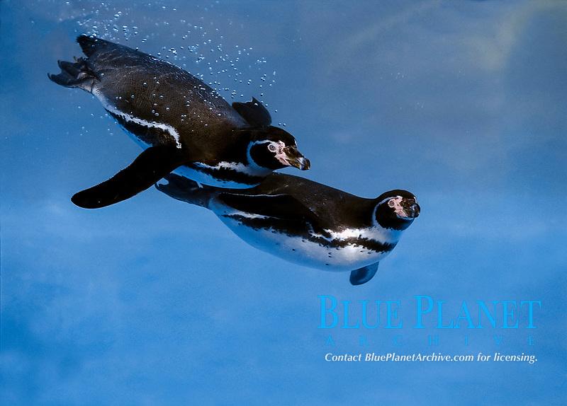 Humboldt penguin, Spheniscus humboldti, adults, swimming under water