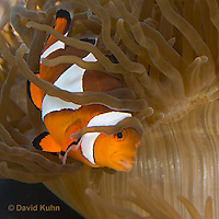 0321-1122  False Percula Clownfish (Ocellaris Clownfish), Amphiprion ocellaris, with Bulb-tipped Anemone, Entacmaea quadricolor  © David Kuhn/Dwight Kuhn Photography