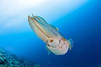 Broadclub Cuttlefish, Sepia latimanus, Micronesia, Palau