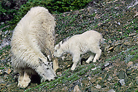 Mountain Goat nanny with young kid in subalpine meadow.  Western U.S., June.