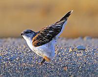 Juvenile light-morph ferruginous hawk. Ready to go.
