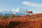 A caribou walks along a ridge among the bright-colored autumn brush in Denali National Park, Alaska.