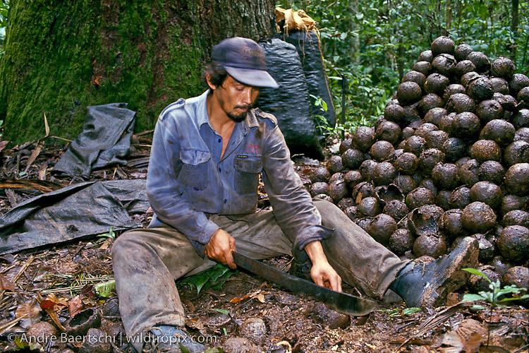 Castañero, Brazil nut harvester, opening Brazil nut pod with machete, lowland tropical rainforest, Madre de Dios, Peru.