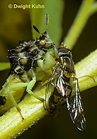 AM02-007z Ambush Bug sucking fluid from prey - Phymata americana