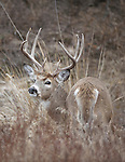 Whitetail buck in late part of the rut in Montana