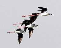 Flock of black-necked sitlts flying