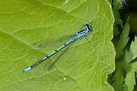 Hufeisen-Azurjungfer, Hufeisenazurjungfer, Azurjungfer, Männchen, Coenagrion puella, Azure Damselfly