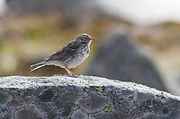 Wiesenpieper, Wiesen-Pieper, Anthus pratensis, meadow pipit