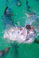 tarpon feeding frenzy, .Megalops atlanticus, .Islamorada, Florida Keys National .Marine Sanctuary (Atlantic).