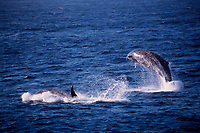 Baird's beaked whale, Berardius bairdii, leaping, west coast of Baja California, Mexico, East Pacific Ocean