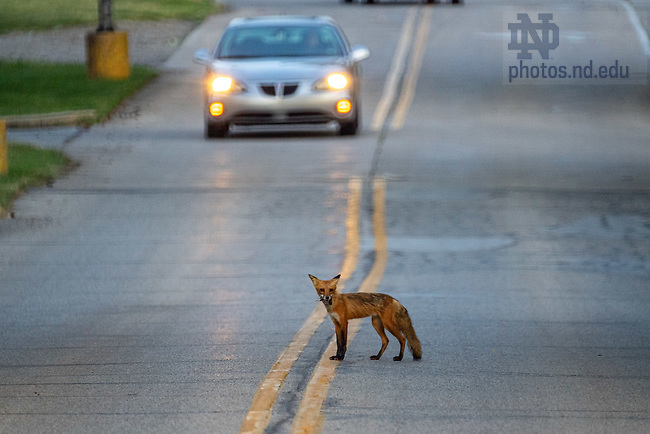 June 16, 2020; A fox crosses Door Road (Photo by Matt Cashore/University of Notre Dame)