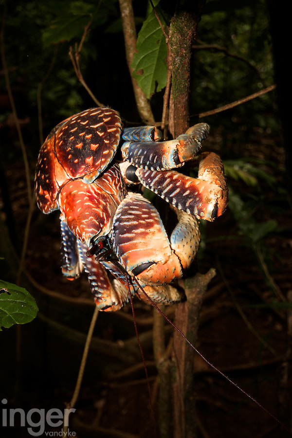Coconut Crab in the Rainforest on Christmas Island, Indian Ocean
