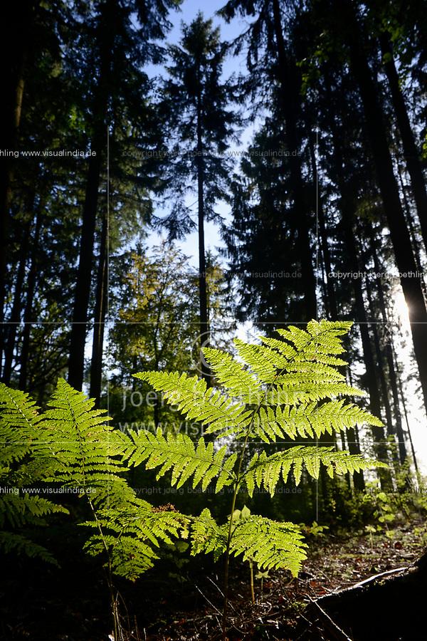Germany, fern in forest / DEUTSCHLAND, Farnkraut, Wald in der Lueneburger Heide