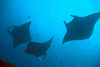 Three Giant Manta Rays (Manta birostris) silhouetted by light penetrating the water's surface, Maldives.