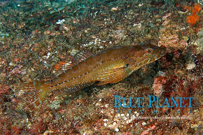 Perch sculpin or Sunrise, Pseudoblennius percoides, Yawatano, Sagami bay, Izu peninsula, Shizuoka, Japan, Pacific Ocean