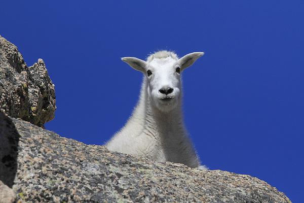Mountain Goat kid (Oreamnos americanus) on the slopes of Mount Evans (14250 feet), Rocky Mountains, west of Denver, Colorado, USA Private photo tours to Mt Evans. .  John leads private, wildlife photo tours throughout Colorado. Year-round.
