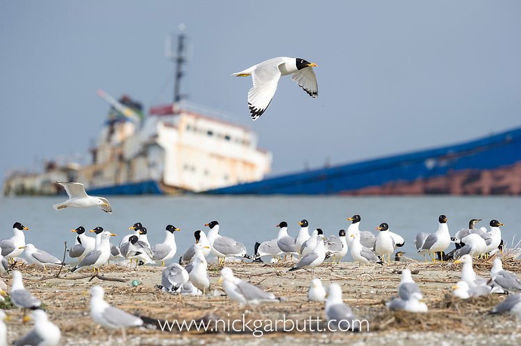 Colony of Pallas's or great black-headed gulls (Larus / Ichthyaetus ichthyaetus) on the shores of the Black Sea with a ship wreck in the background. Black Sea, Romania.