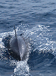 One spinner dolphins playing full speed with the wake in front of the bow.<br />