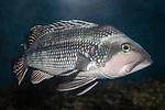 Black Sea Bass swimming 45 degrees to camera