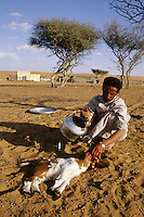 Wahiba Sands, Oman, Arabian Peninsula, Middle East - Sacrificing a lamb for Eid al-Adha.  Like all Muslims who can afford to do so, this Omani sacrifices a goat to celebrate the Eid al-Adha (Feast of the Sacrifice), the annual feast through which Muslims commemorate God's mercy in allowing Abraham to sacrifice a ram instead of his son, to prove his faith.  This Omani bedouin lives in the Wahiba Sands.  His house and his Toyota pick-up are in the background.