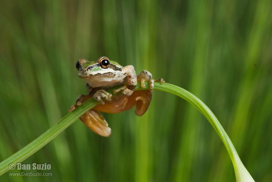 Pacific treefrog (Pacific chorus frog), Hyla regilla (Pseudacris regilla) on stem of California poppy, Eschscholzia californica
