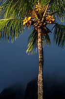 Coconut palm tree lit by golden hour sunset light with a dark, beautiful stormy sky over Le Morne Brabant mountain, in Mauritius Island, Africa