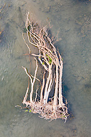 """A tree lies in the shallows of the Mekong River. Flooding along the river, in northern Cambodia, often leads to forests being destroyed. """"Flooding is a way of life along the lower Mekong River in Vietnam and Cambodia. Every year between August and November, monsoon rains fill the rivers of Southeast Asia, and the Mekong River Delta broadens well past its dry season levels. The annual floods carry nutrient-rich silt to farmland around the river and provide the moisture needed to grow vast fields of rice"""", according to NASA's Earth Observatory."""