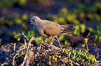 Blue noddy on Jarvis Island,  Northwest Hawaiian islands. Smallest tern species,