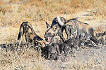 Pack of African painted dogs (Lycaon pictus)(sometimes wild dog or hunting dog) regurgitating food for litter of 10 pups. Outside den, Engusoro Plain, Ngorongoro Conservation Area (NCA) / Serengeti. Tanzania.