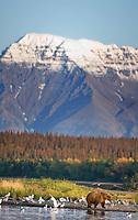 Brown bear, Brooks River, Mount Katolinat, Katmai National Park, Alaska.