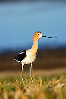 American Avocet. Summer Lake State Wildlife Refuge. Oregon