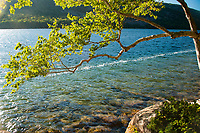 A birch tree along the shore of Jordan Pond, a popular destination, in Acadia National Park in Maine