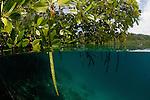 Blue water mangroves with propagule seedling. North Raja Ampat, West Papua, Indonesia
