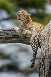 Female leopard (Panthera pardus) yawning / resting on tree branch. Ngorongoro Conservation Area (NCA) / Serengeti National Park, Tanzania.