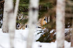 Canada Lynx (Lynx canadensis) male in boreal forest in winter, Manitoba, Canada