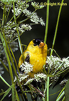SW05-006a  American Goldfinch - Carduelis tristis