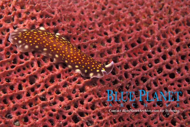 flatworm on sea fan, Milne Bay, Papua-New Guinea