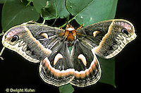 LE01-011x  Cecropia Moth - adult male - Hyalophora cecropia