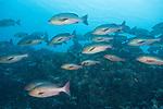 Maarehaa Kandu, Maarehaa Island, Huvadhoo Atoll, Maldives; a school of Red Snapper (Lutjanus bohar) fish swimming over the rocky reef