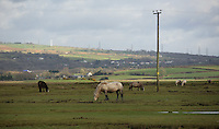Pictured: Ponies in the river Loughor estuary near Llangennech, west Wales. Thursday 24 February 2017<br />Re: Plans to convert Llangennech Junior School, a bilingual school to one teaching only welsh, has caused a bitter row between campaigners and politicians in Carmarthenshire, Wales, UK.