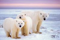 polar bear, Ursus maritimus, mother with cubs on the pack ice, 1002 coastal plain of the Arctic National Wildlife Refuge, Alaska, polar bear, Ursus maritimus