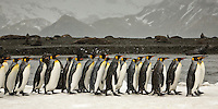 King Penguins line up and follow each other, heading out to the waters for feeding, Salisbury Plain, South Georgia Island, November 2007