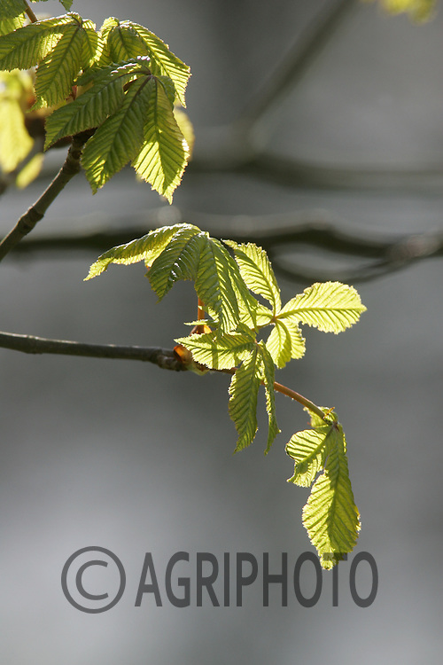 Young Buds on a Horsechestnut tree