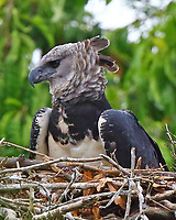 Female harpy eagle at nest. These birds are huge and powerful and favorite food is monkeys and sloths.