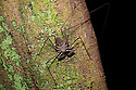 Tailless Whipscorpion  (Heterophrynus elephas) hunting invertebrate prey at night on tree butress root.  Manu Biosphere Reserve, Peru. November.